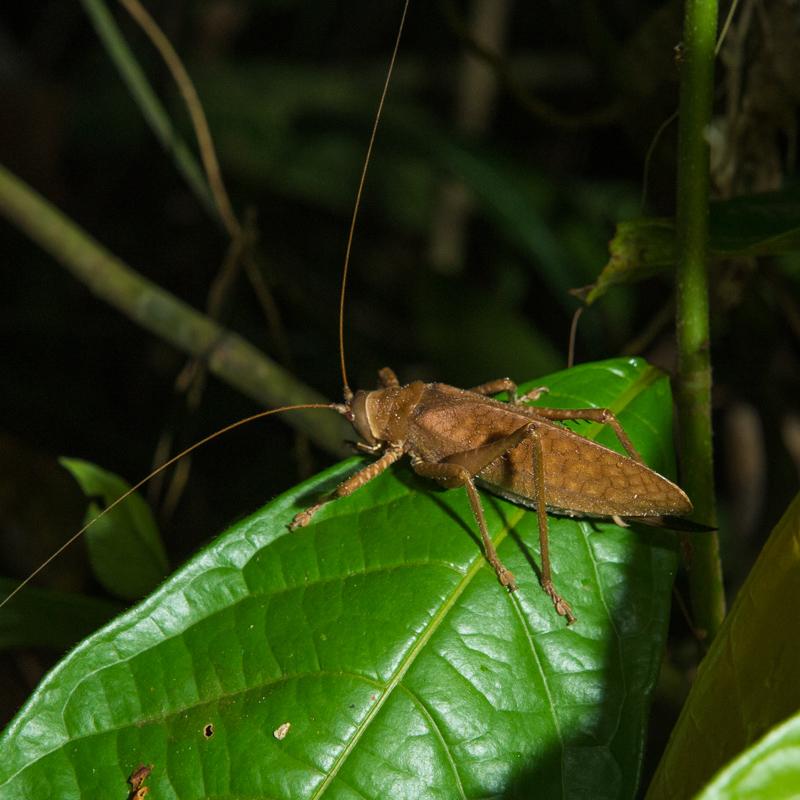 Katydid (Langostino) on leaf in Peruvian rainforest