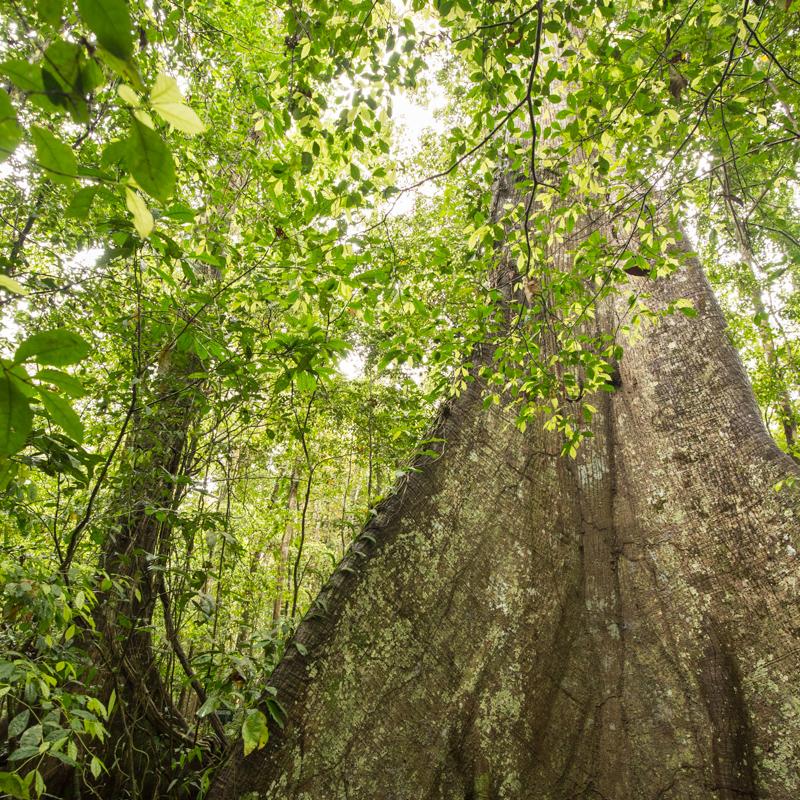 Buttress root, Kapok tree, Plants, rainforest