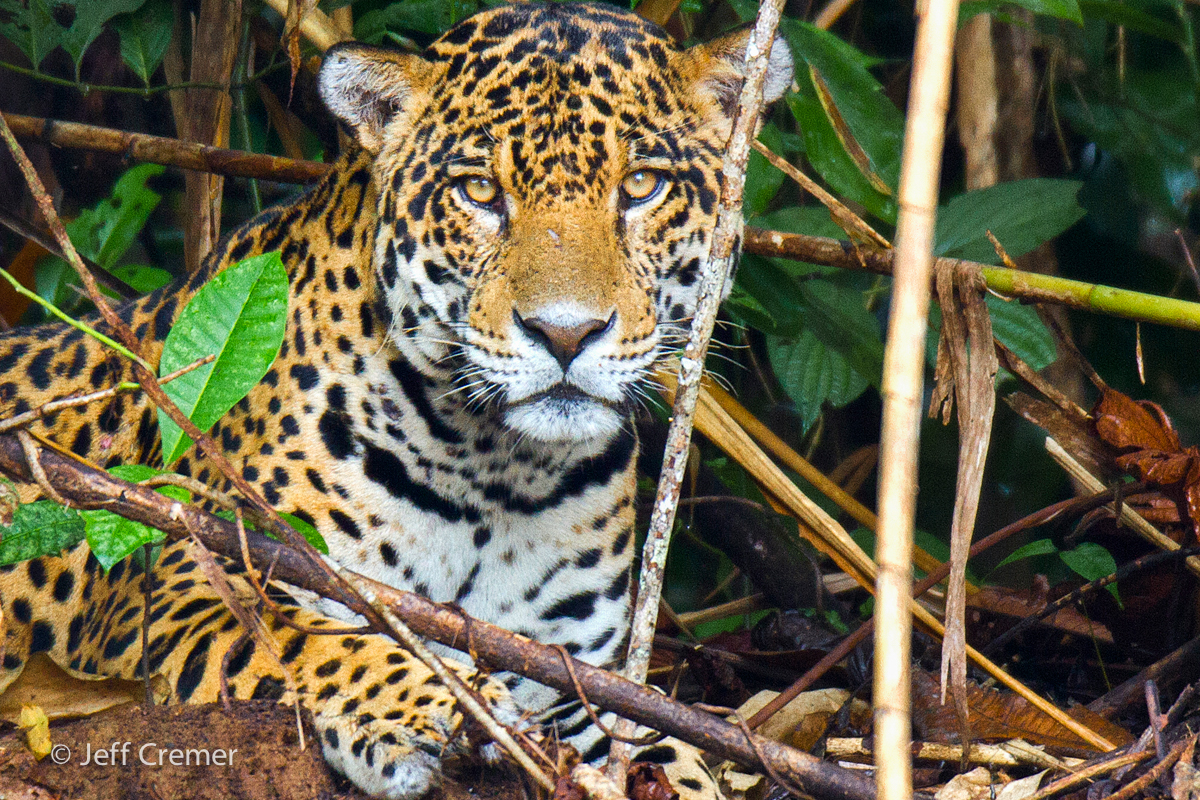 the endangered species study on jaguars in central and south america These agile hunters once lived throughout south and central america and in the southern and central endangered species jaguars were listed as endangered.