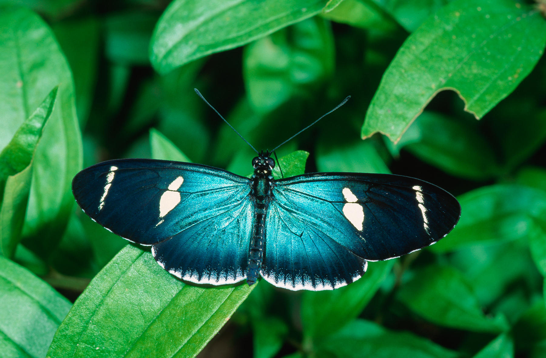 butterfly, Heliconidae