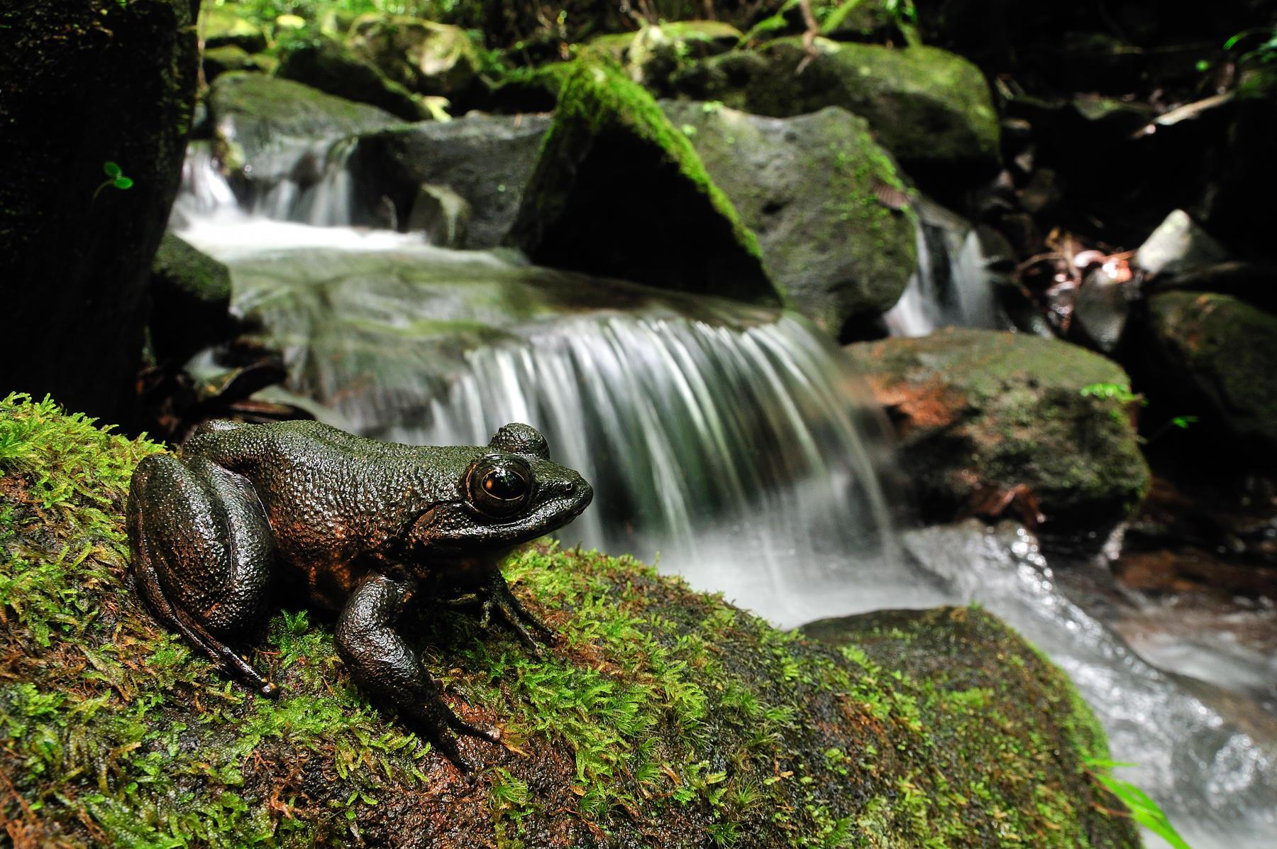 Grandidier's Stream Frog