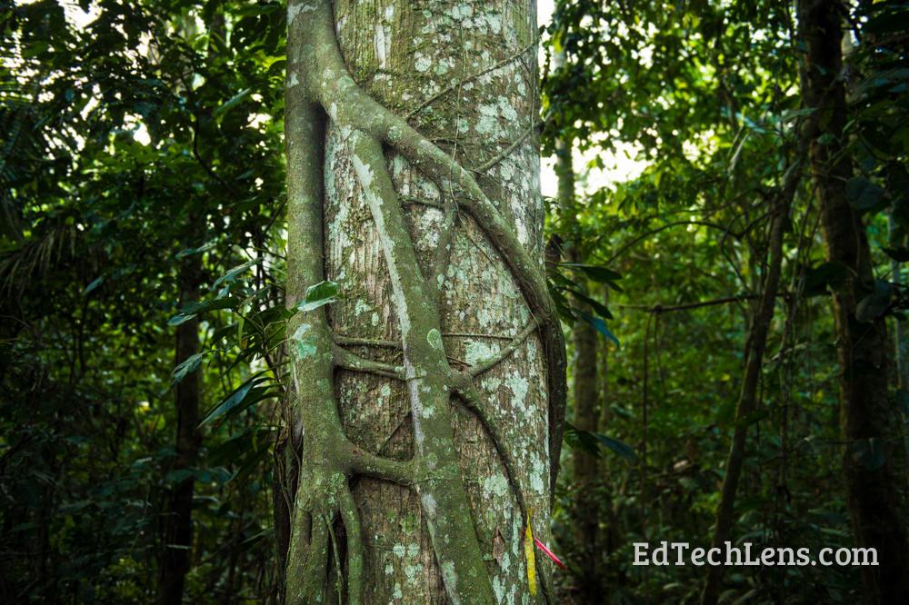 Rainforest Plants Protection Methods Strangler fig vine