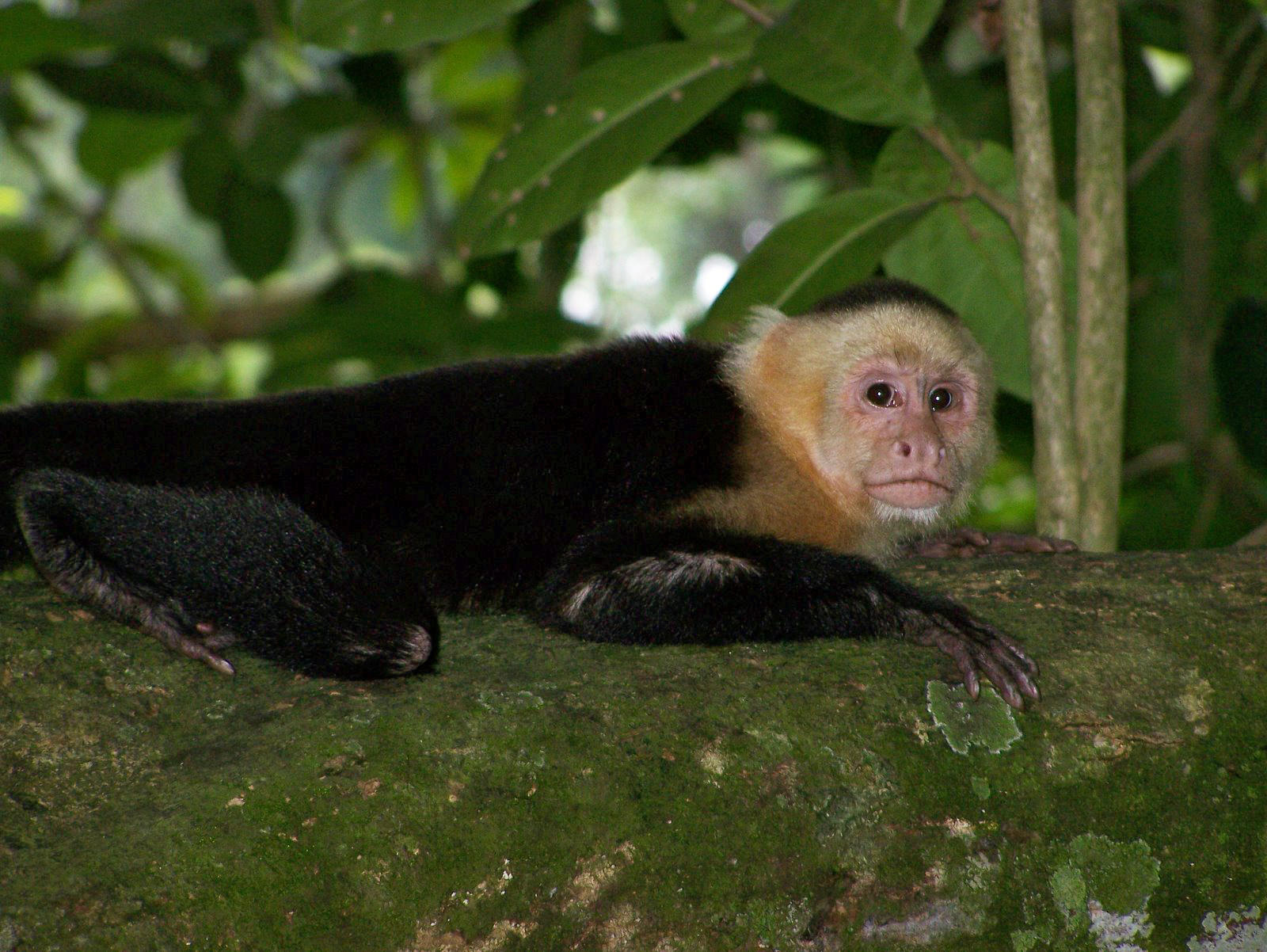 Capuchin monkey - Mutualism - Rainforest Plants Animals Working Together