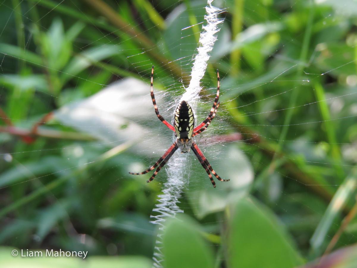 Garden Spider Eight-Legged Wonders Liam Mahoney EdTechLens