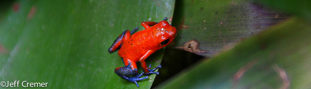 Blue Jeans Poison Dart Frog in Peruvian rainforest Jeff Cremer Photo