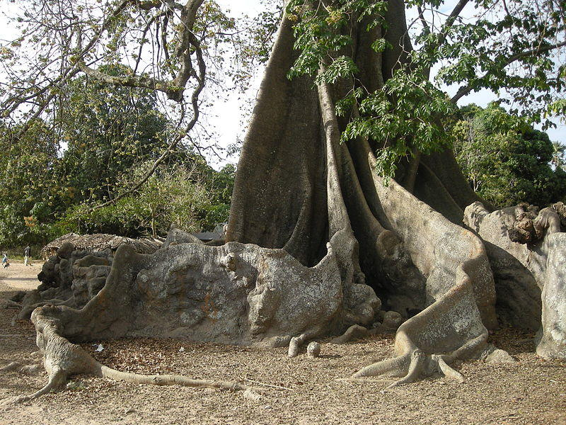 Buttress Roots Senegal Africa Rainforest Science