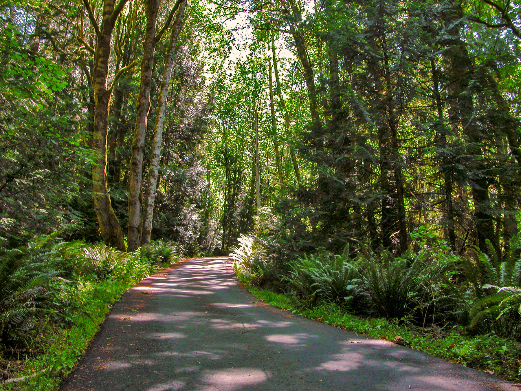 Seabeck, Washington. Narrow road with trees in temperate rainforest on Kitsap Peninsula.