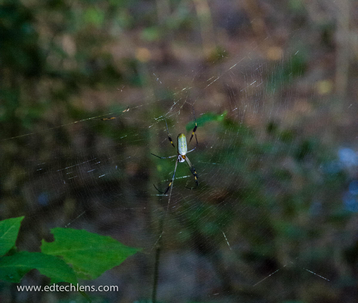Golden Orb Spider Costa Rica
