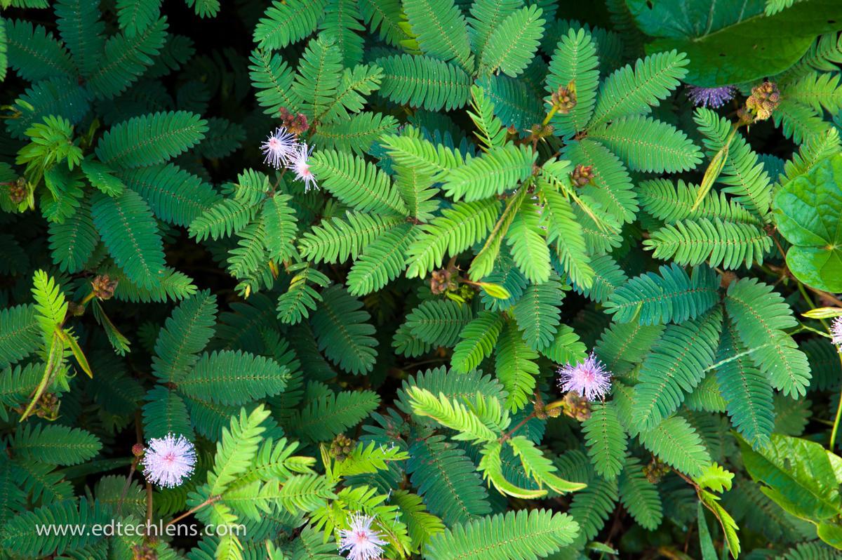 "Sensitive Plant - Brazil Rainforests - EdTechLens"""