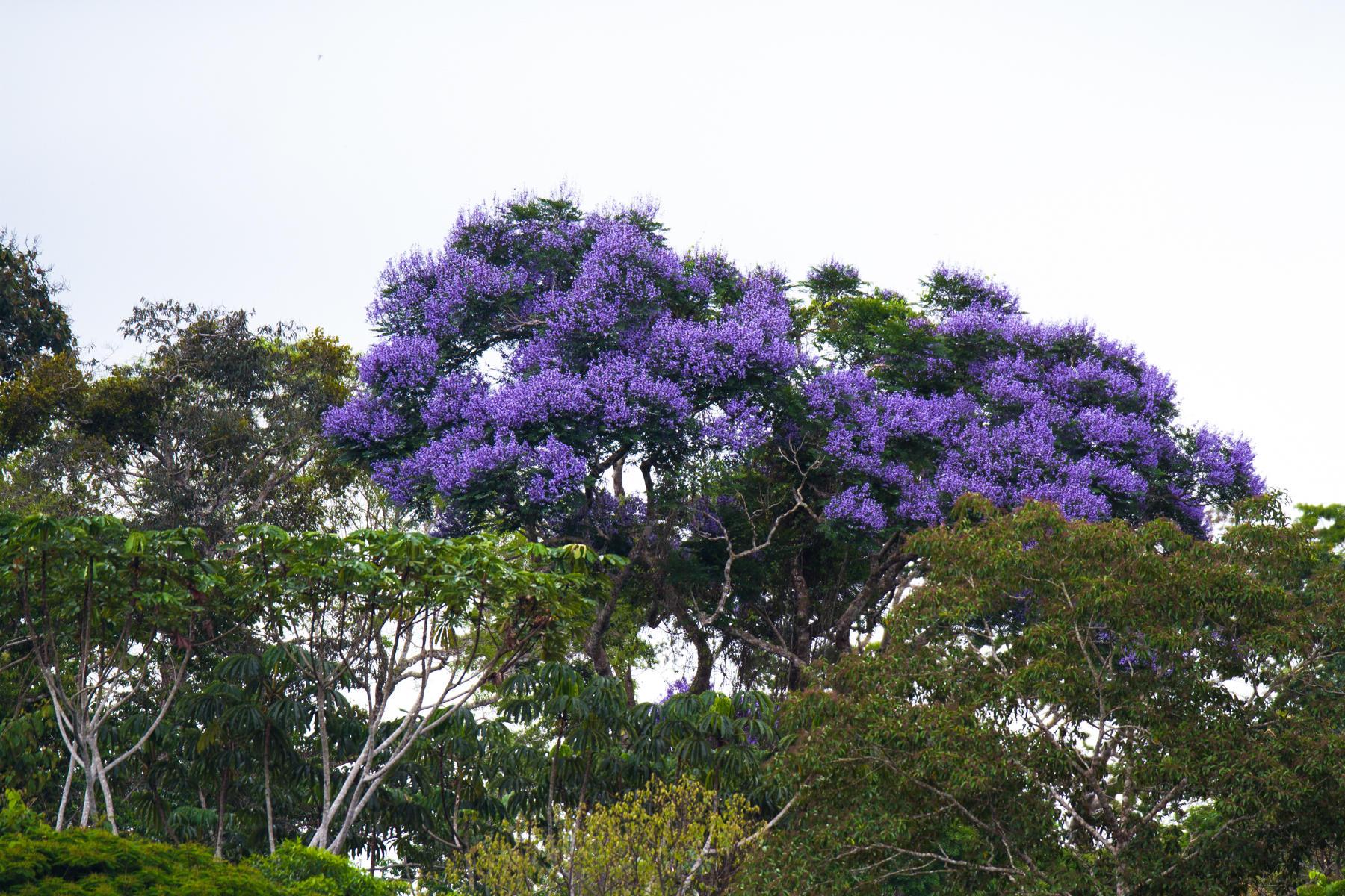 Canopy flower (Jacaranda) in rainforest