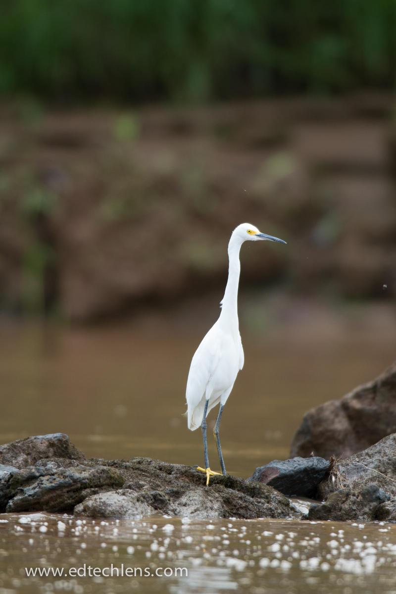 White Egret EdTechLens national Audubon Society