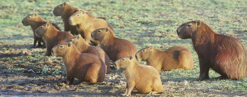 Capybara Rainforest Social Animals