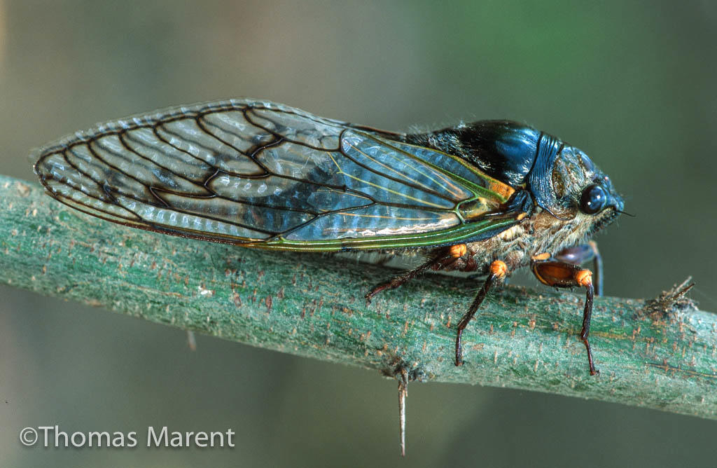 Cicadas U.S. North America Thomas Marent photo