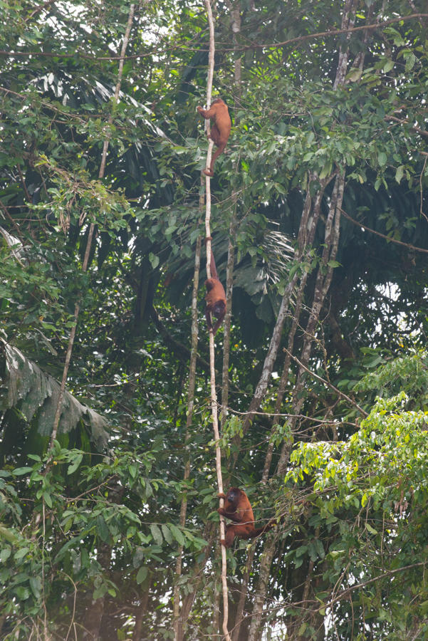 Monkeys and baboons are just a few of the many species that live in the canopy. How many ways can you see to travel through the canopy layer? & Rainforest Science Blog for Kids: The Canopy Layer: The Roof of ...