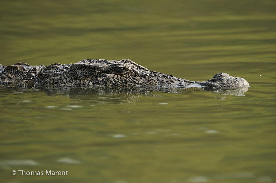 Crocodile in rainforest water. TM ordered but unused. Need Hi-res if using.