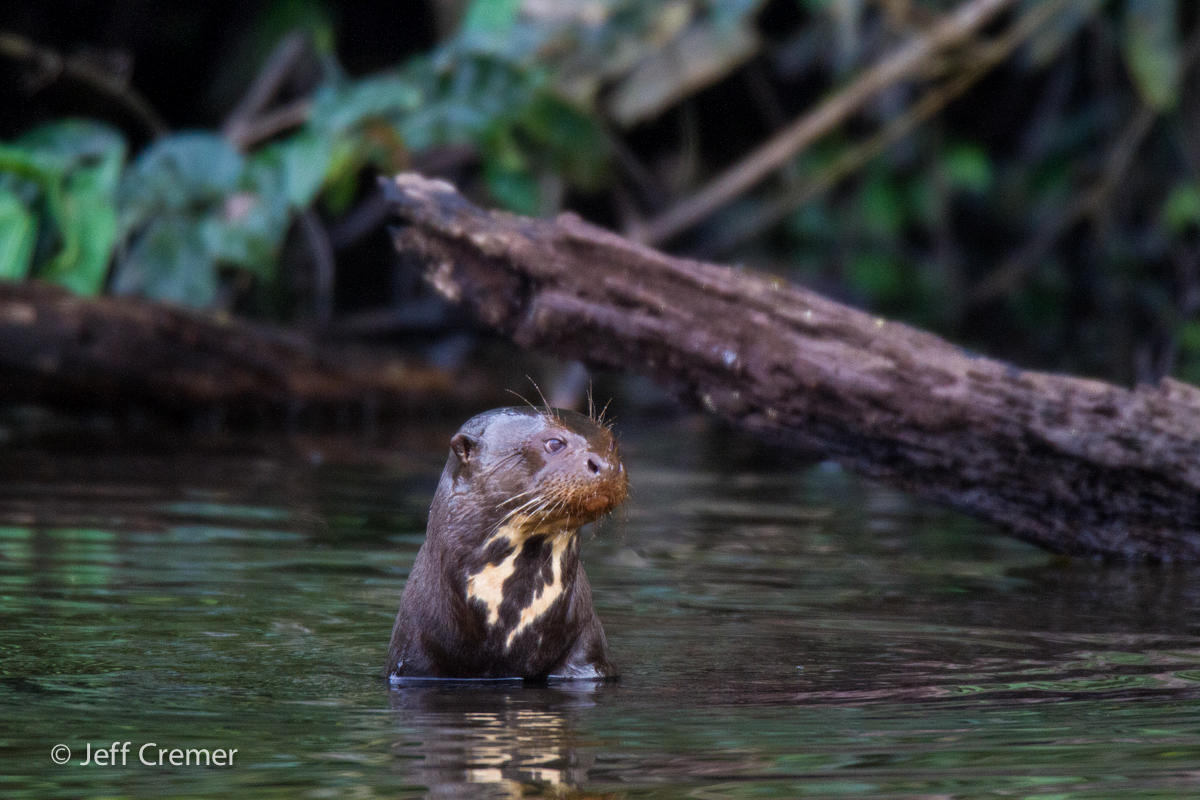Giant River Otter River Wolves immersed in river, Peru