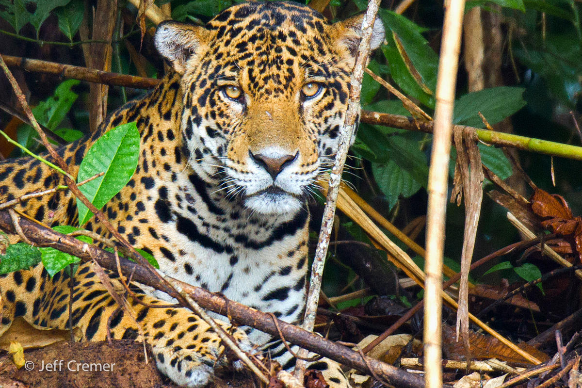 Jaguar Panthera onca Panthera species native Americas