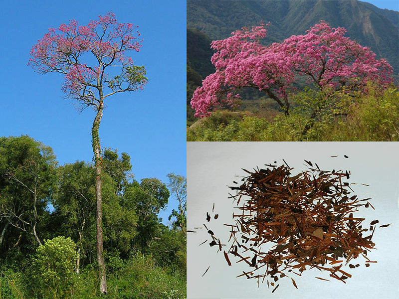 Rainforest Plants Medicine Tall Lapacho Tree Bushy Lapacho Tree Crushed Lapacho tea leaves