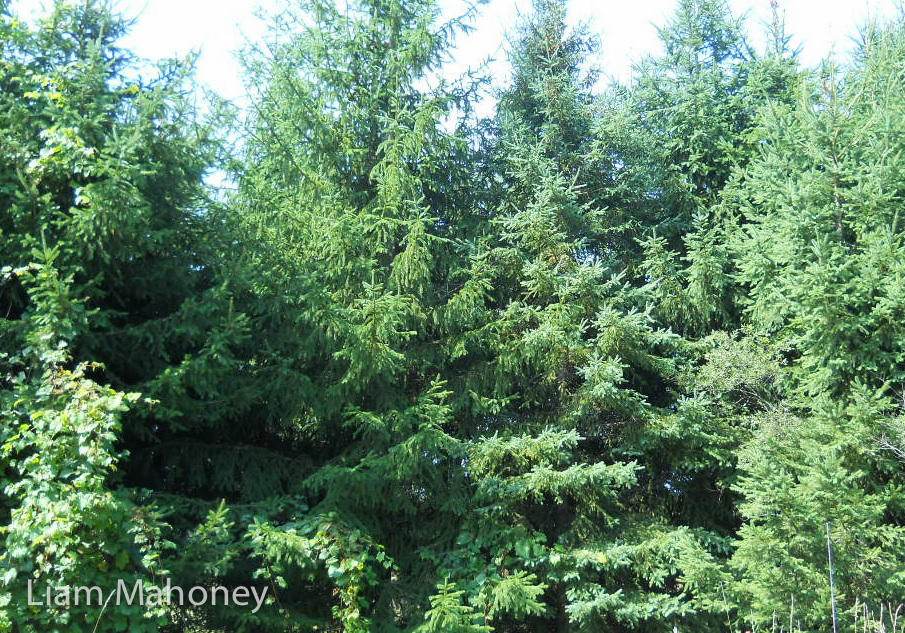 spruce tree needles Temperate rainforest cooler Climates