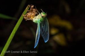 Young Cicadas Molting cicada in rainforest