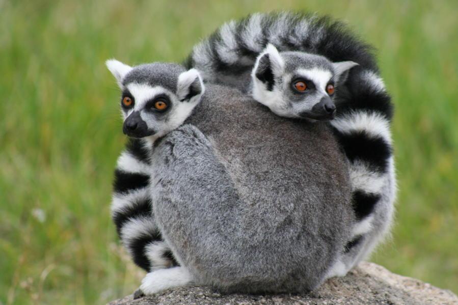 Ring-tailed lemur Madagascar Rainforest Science