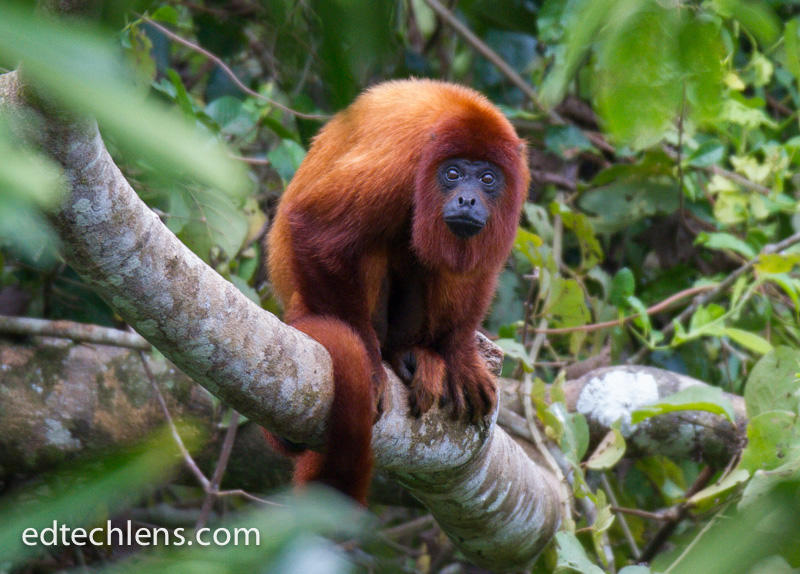 Red Howler Monkey Rainforest Animals - EdTechLens Blog