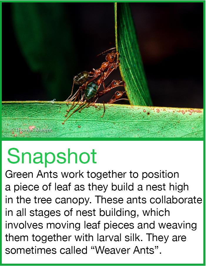 Green Ants - Weaver Ants - Snapshot Rainforest Science Blog