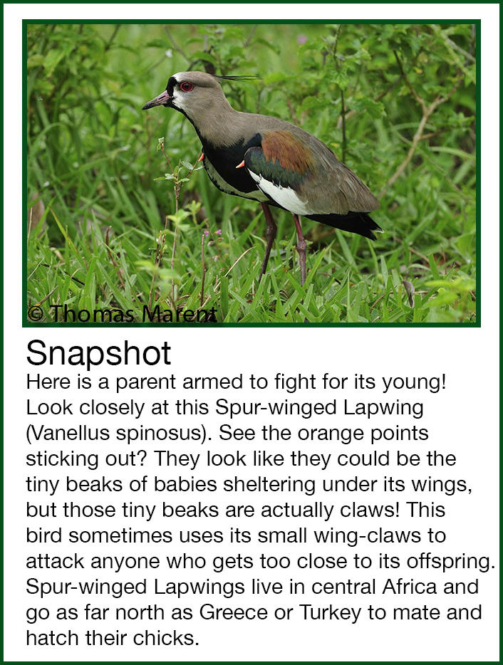 Rainforest Animals Spur-Winged Lapwing Vanellus Spinosus Snapshot Thomas Marent