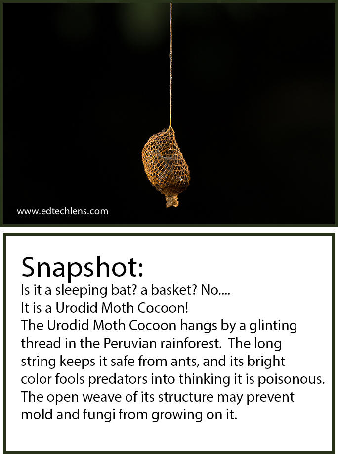 Urodid Moth Cocoon Peruvian Rainforest Snapshot EdTechLens