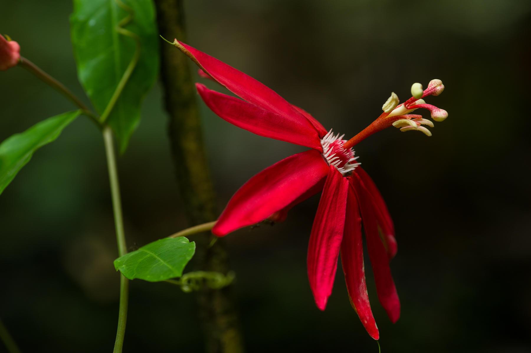 Passion Flower (Passiflora coccinea), Guyana