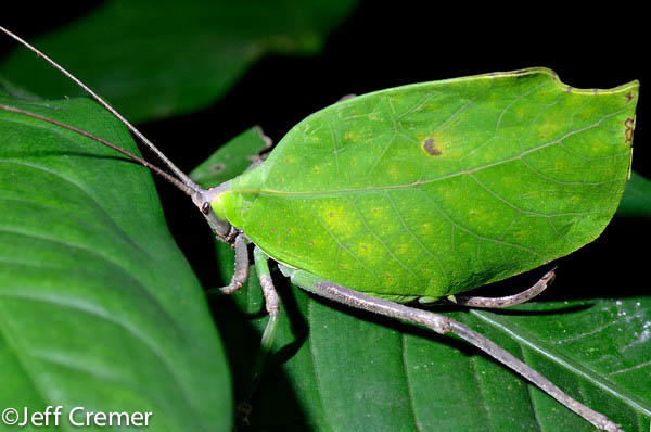 Leaf Mimicking Katydid Rainforest Jeff Cremer Photographer