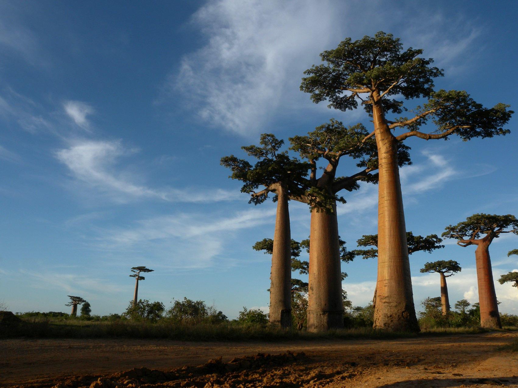 baobob trees Madagascar Rainforest Science Image Frank Vassen, Wikipedia