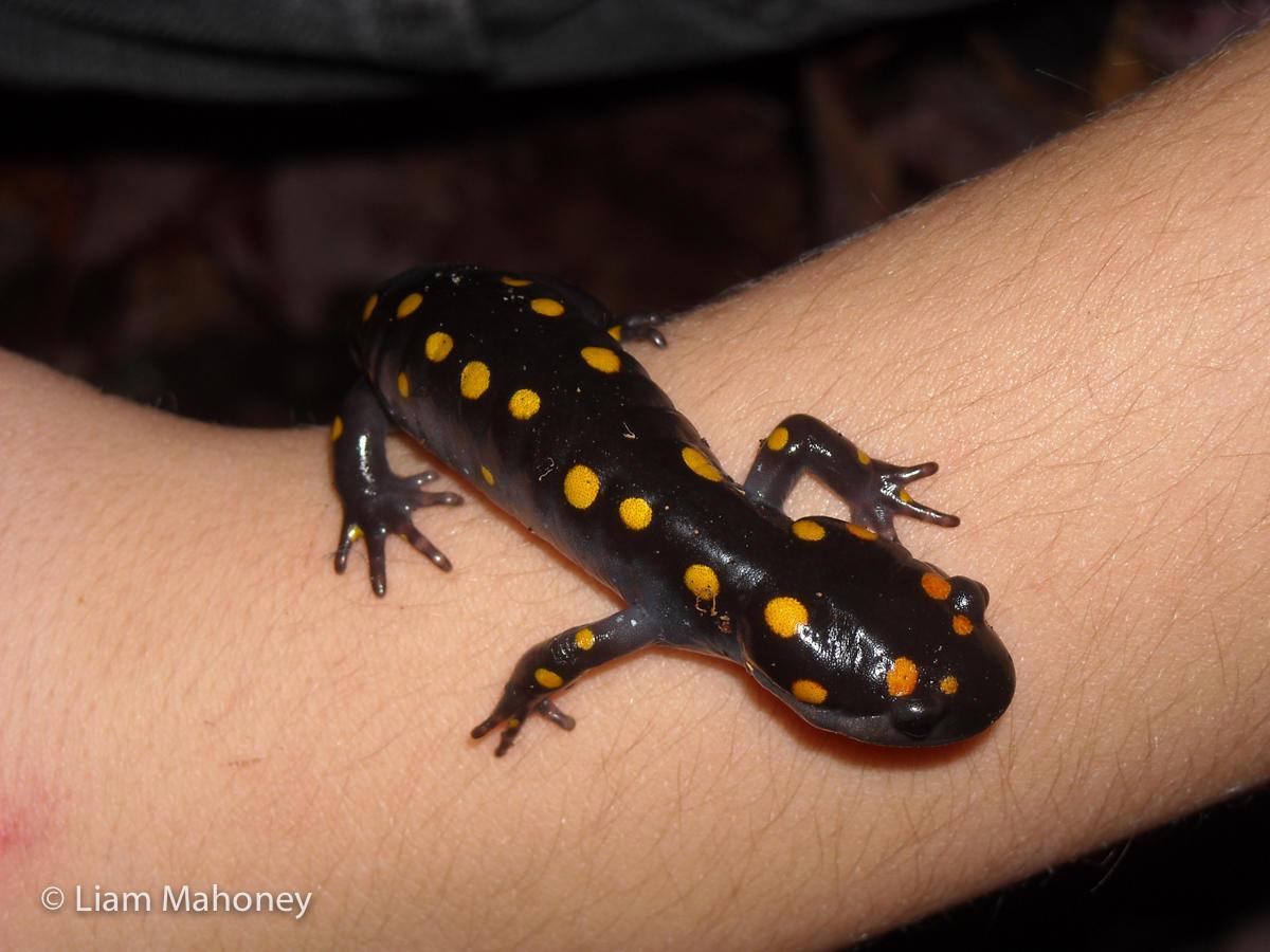Liam Mahoney amphibian salamander metamorphosis process